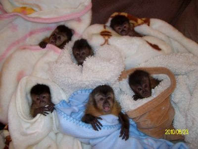 Baby Chimpanzee and Capuchin Monkeys for adoption