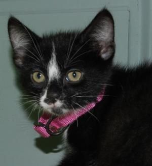 Adopt Jodie A Manx Domestic Medium Hair Black And White Black