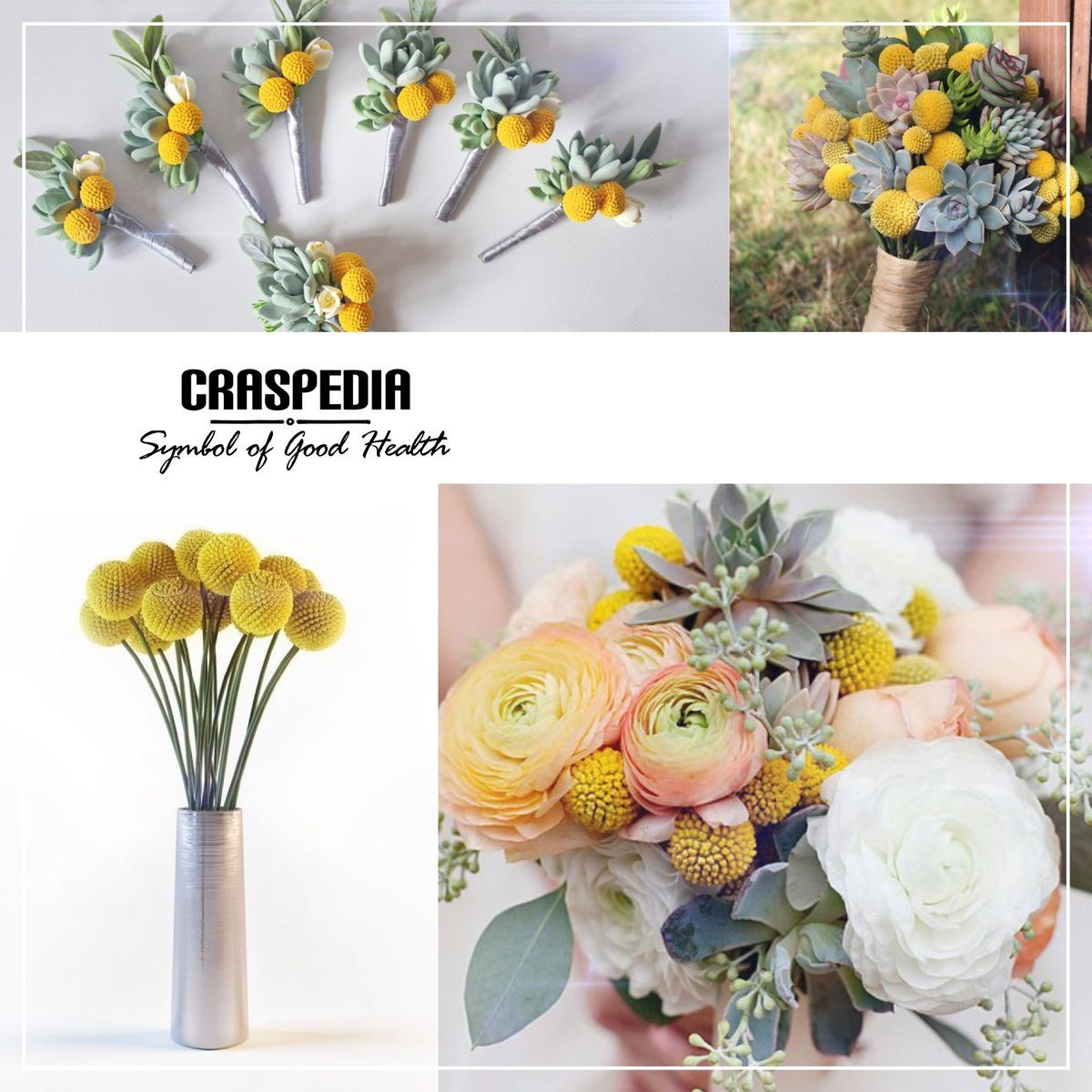 Craspedia Flower Meanings Craspedia Flowers
