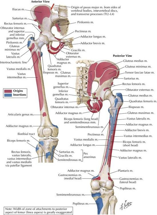 47++ Female hip joint anatomy ideas in 2021