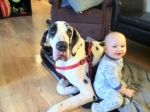 Duke Is Available From The Pa Great Dane Rescue Great Dane