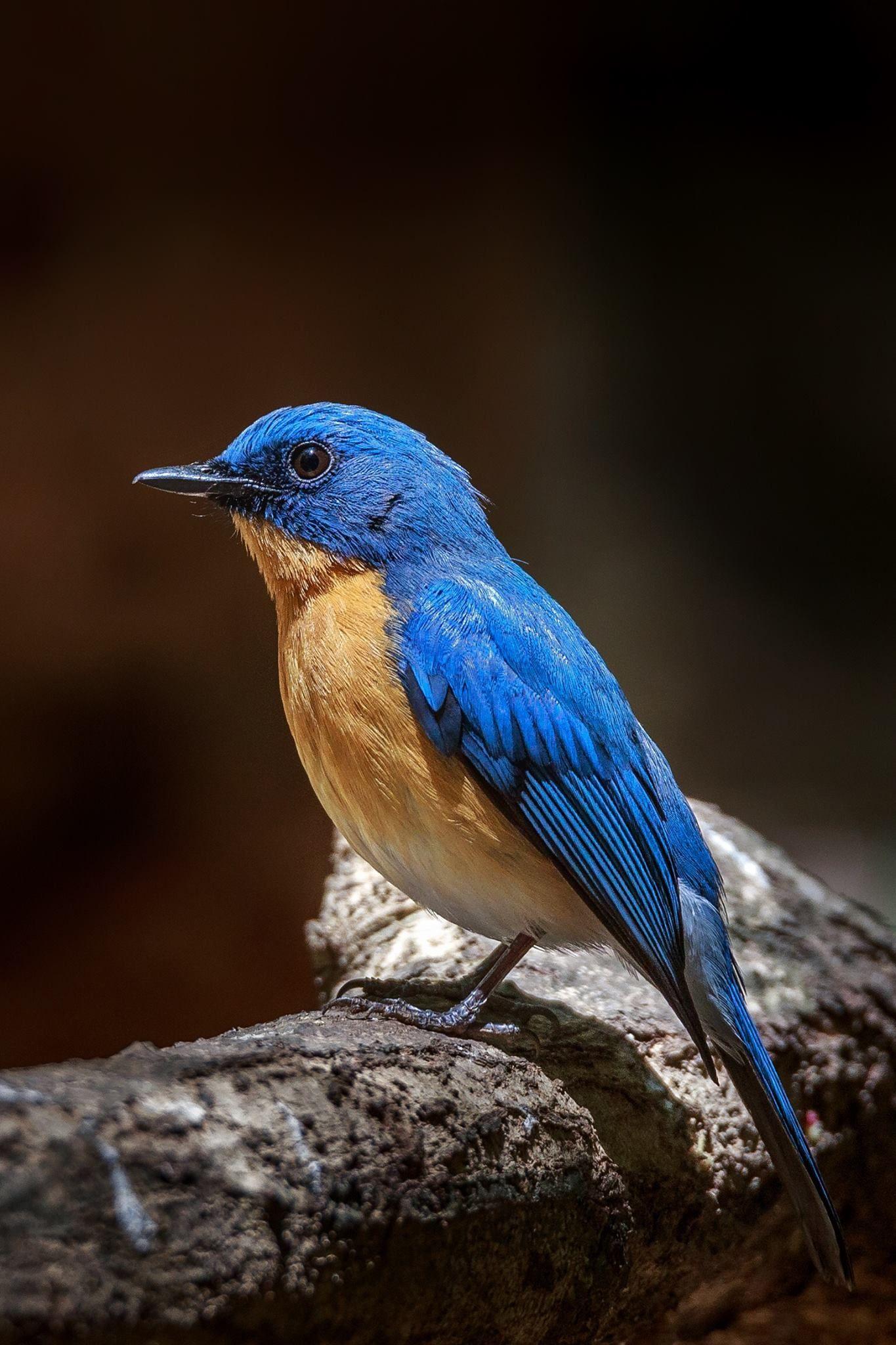 Tickell's Blue Flycatcher Bangalore, Karnataka, India