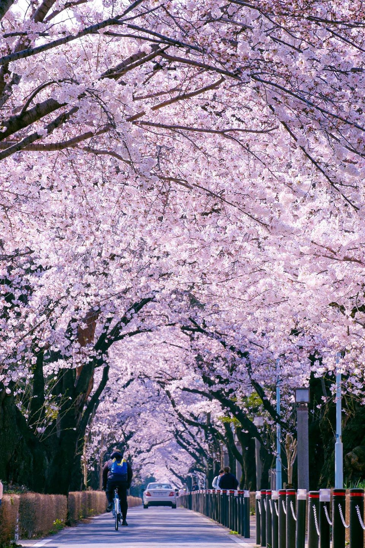 Cherry Blossom, Tokyo, Japan 東京カメラ部 Popular:Yuzo Fujii #桜 #CherryBlossom