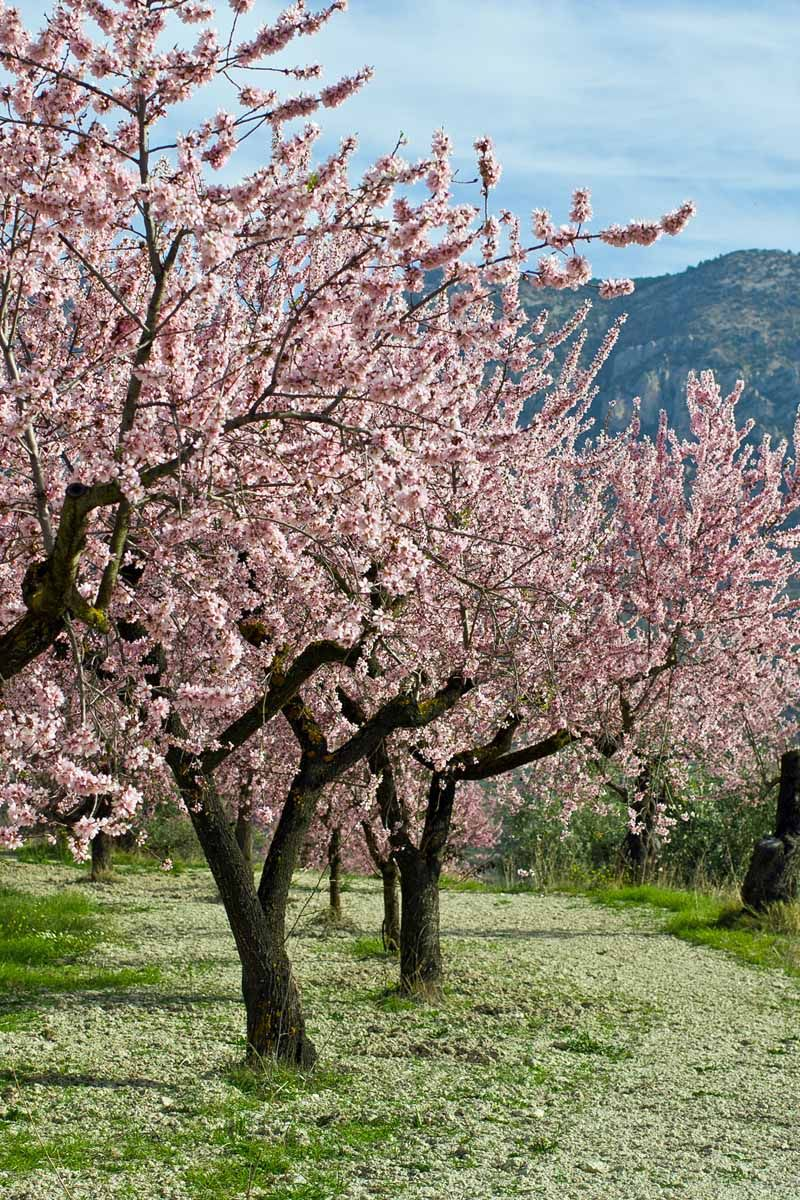How to Plant, Grow, and Care for Almond Trees | Trees to plant, Blooming  trees, Almond tree