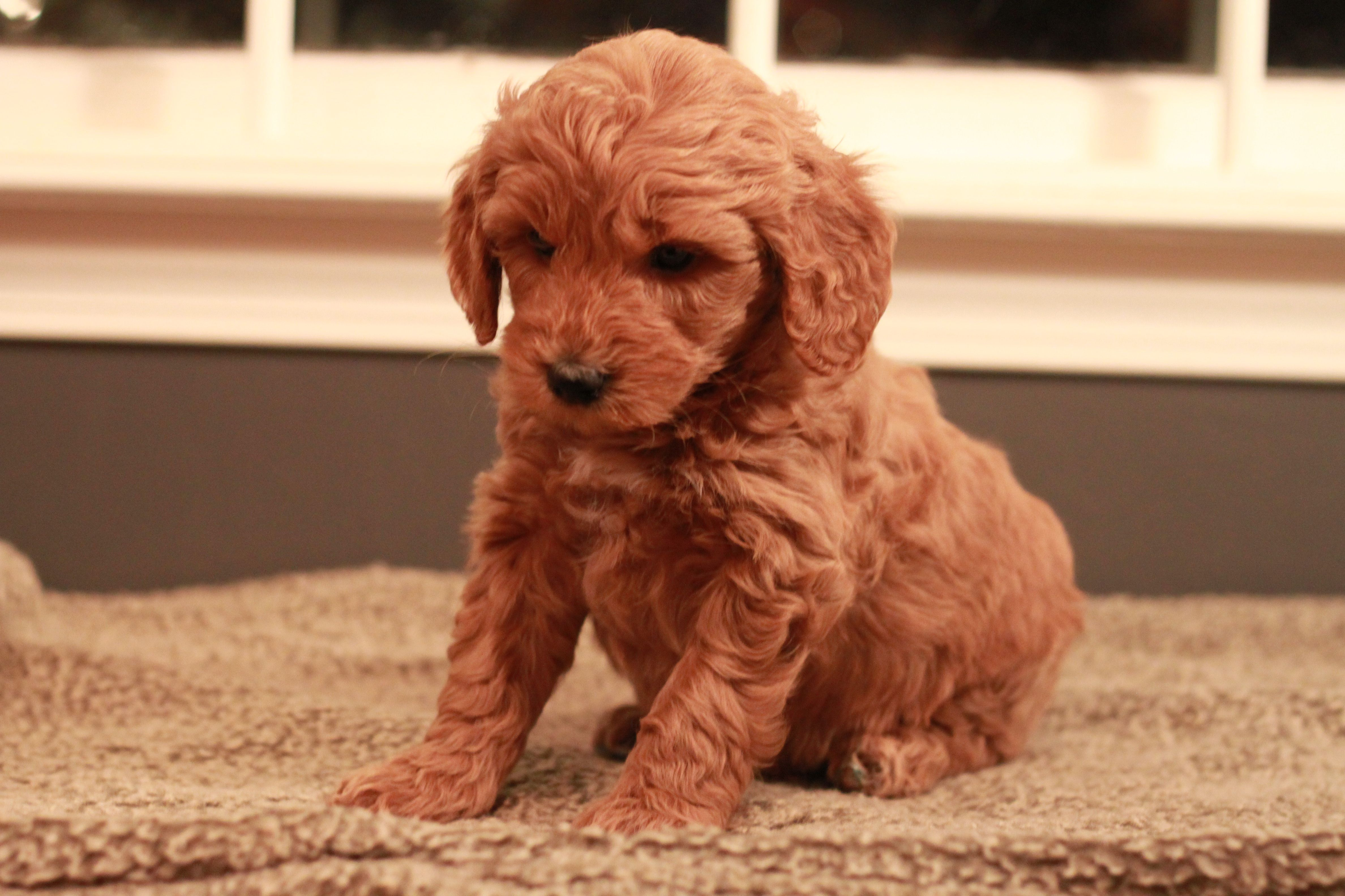 Red Goldendoodle Puppy Nike 6 Weeks Old Adopted From River Valley Doodles Maggie S 2013 Litter Goldendoodle Red Goldendoodle Goldendoodle Puppy