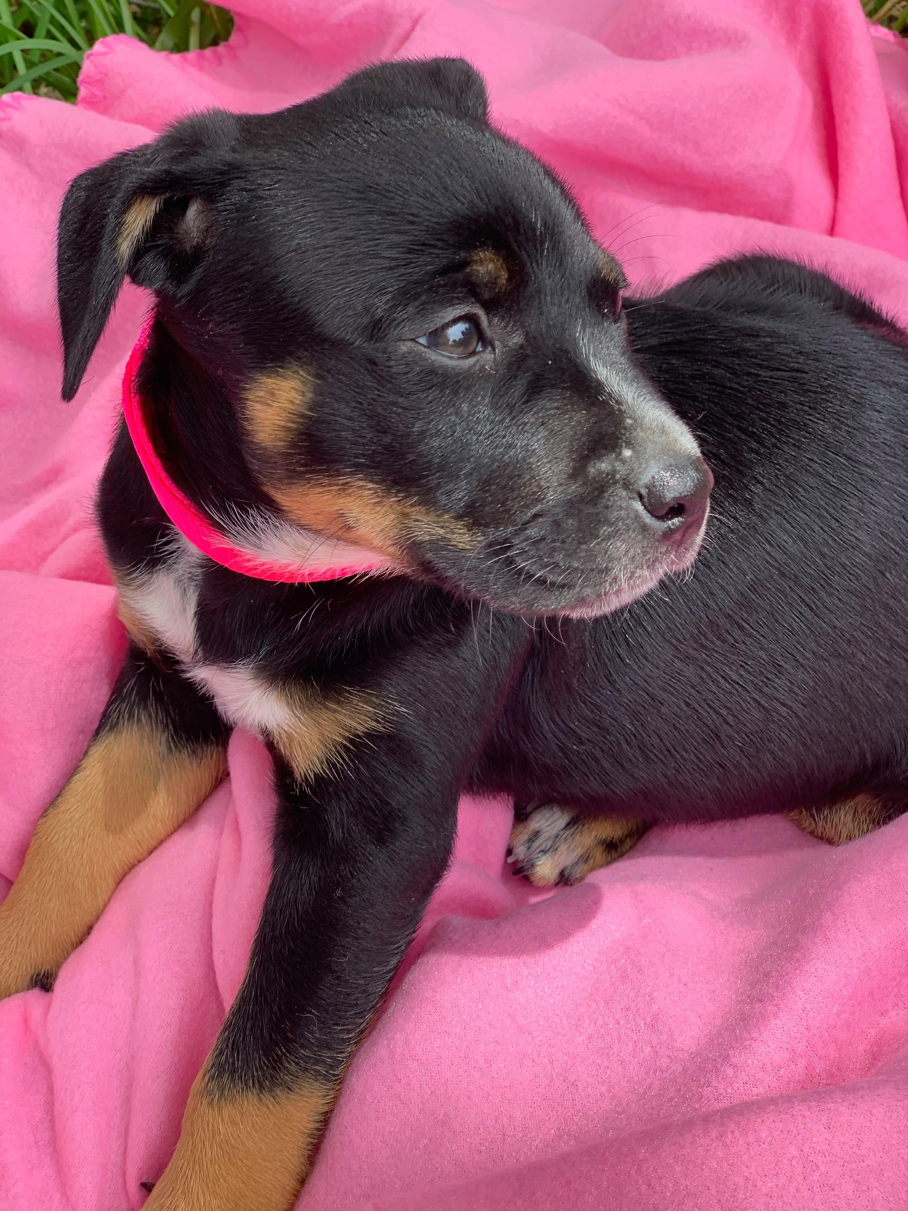 Pin On Adoptable Puppies Near Houston Tx