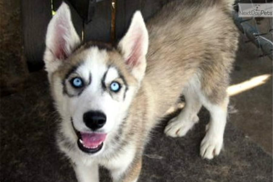 Male Female Pups Blue Eyes Black Grey White Male Siberian