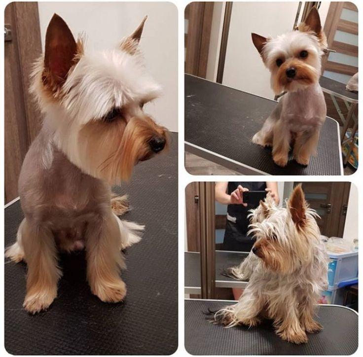 24 Besten Yorkie Frisuren Fur Manner Yorkshire Terrier Haarschnitte Die Pfoten Besten Die Frisu Yorkie Hairstyles Yorkie Terrier Yorkshire Terrier Dog