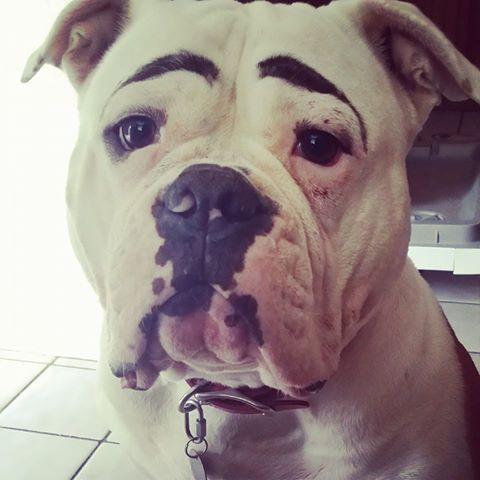 Bubbles Eyebrows On Point American Bulldog Best Dogs Bulldog