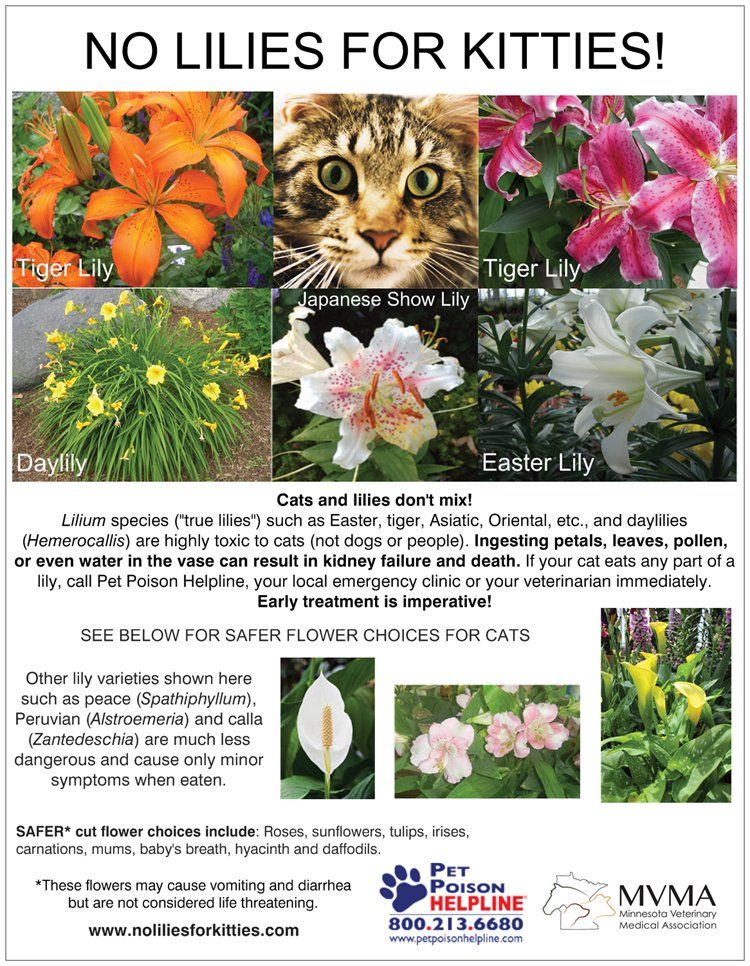 No Lilies for Kitties Toxic plants for cats, Pet poison