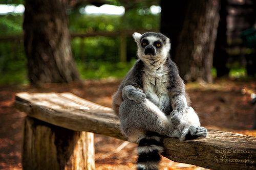 Ring-tailed lemur [EXPLORED]