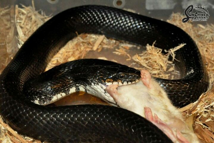 Black Rat Snake - Sunshine Serpants