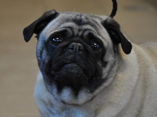 Adopt A Pug Monday Cutie From Las Vegas Nevada Cutie Is Justly