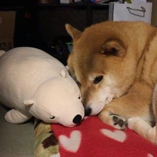 """柴犬, Shiba Inu <3 ~lisa, """"Good night...今晩も冷えるからね。あったかくしておやまる〜(c)"""" ... sweet dreams ~lisa"""