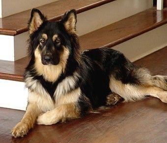 Ayer S Long Coat German Shepherds Breeder S New Prior Litter