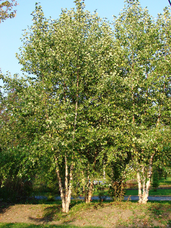 River Birch Tree Clumps Birch Landscaping Plants