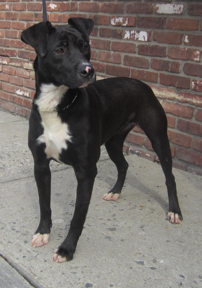 Adopt Melanie 121325 On Black Labrador Retriever Black Labrador
