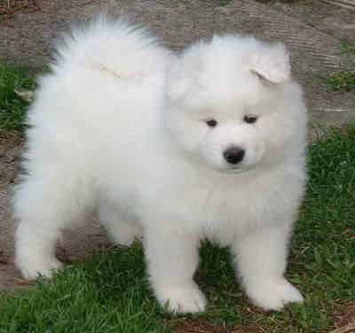 Samoyed One Of The Prettiest Dogs Samojede Hund Hunde Samojede