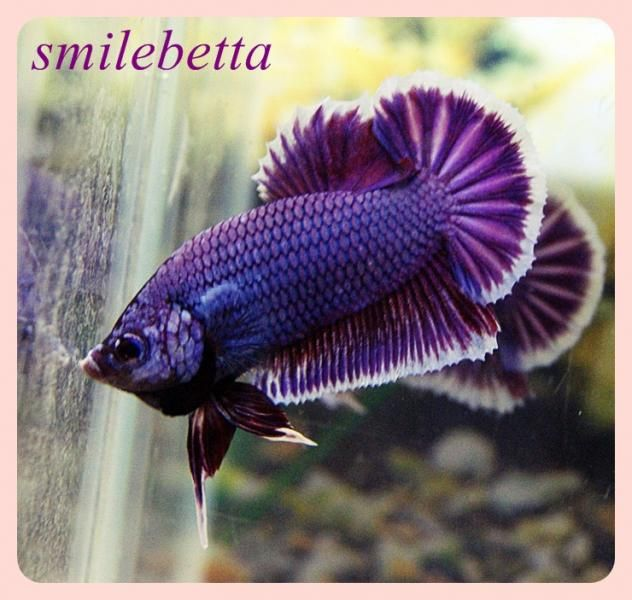 The Aquabid Thread Page 190 Betta Fish Betta Siamese Fighting Fish