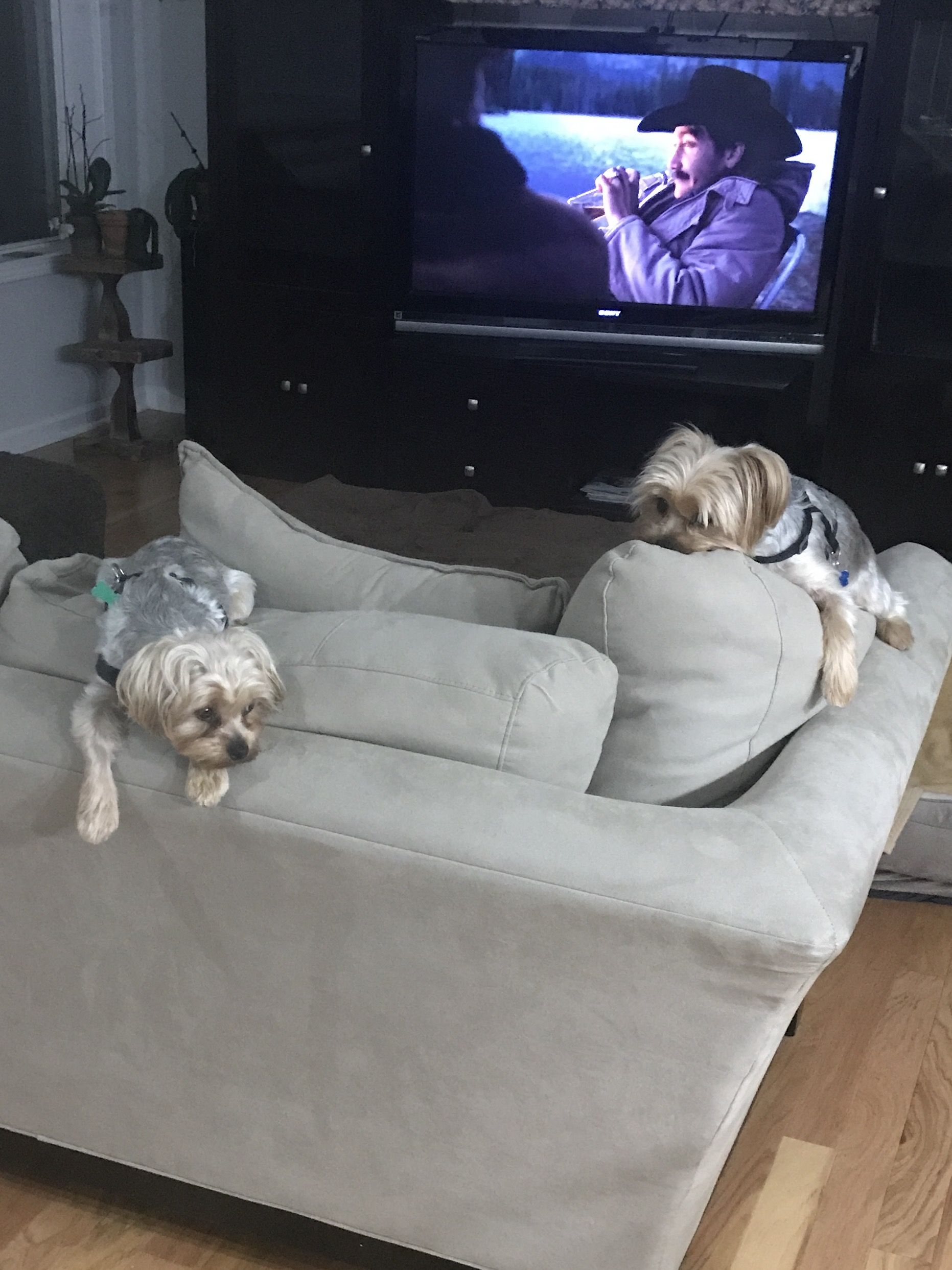 ==>Please meet John's Rascal and Munchkin  Late at night waiting to go to bed. The couch will do for now!   Original Post at https://itsayorkielife.com/johns-rascal-and-munchkin-2/  Share your your sweetheart at http://bit.ly/itsayorkielife}  #Yorkies,#YorkshireTerriers,#YorkshireTerrierLove,#ItsaYorkieLife