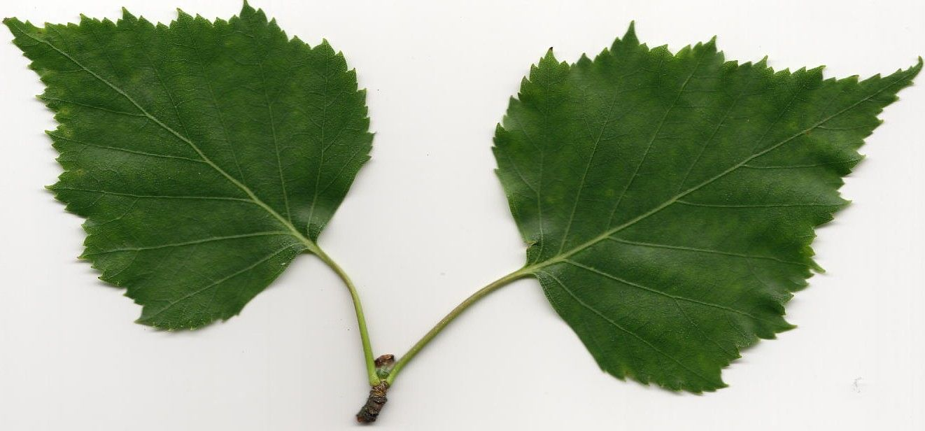 Feuille de bouleau feuilles d 39 arbre pinterest - Feuille de bouleau photo ...