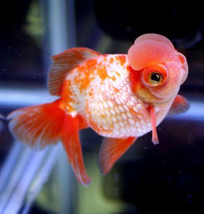 Goldfish Are Cute Mkay Goldfish Aquarium Goldfish Oscar Fish