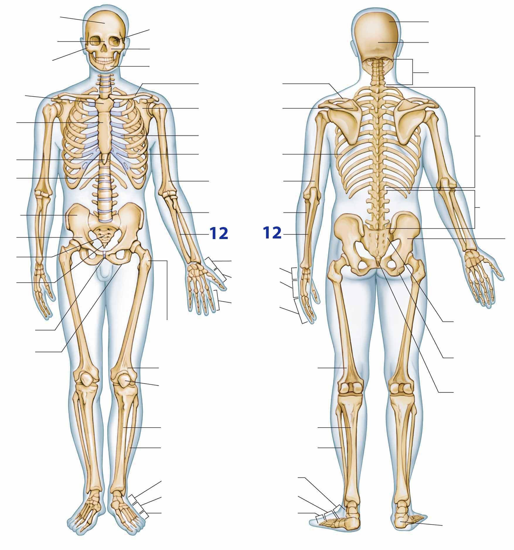 Uitgelezene botten skelet oefenen (met afbeeldingen) | Anatomie en fysiologie UJ-31