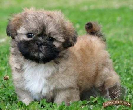 Little Golden Shih Tzu S The Ultimate Wecome Home With Images