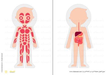 الجهاز العضلي الجهاز الهضمي جسم الانسان مشروع أجهزة الجسم