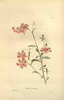 The botanical cabinet [C. Loddiges] (1817-1833) vintage botanical print