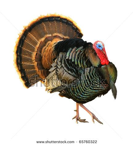 drawings of turkey heads turkey tom strutting his stuff with red wattles and blue white head
