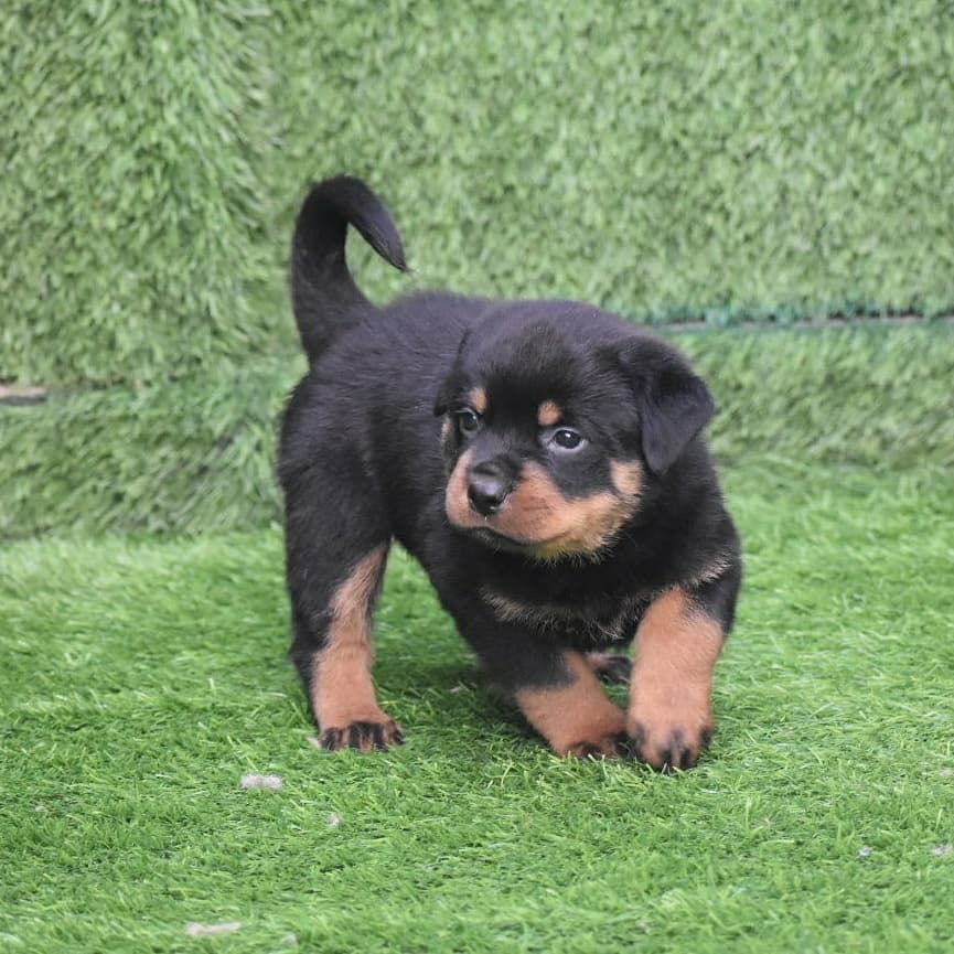 Rottweiler Puppies For Sale Near Me In 2020 Rottweiler Puppies For Sale Rottweiler Puppies Rottweiler Dog For Sale