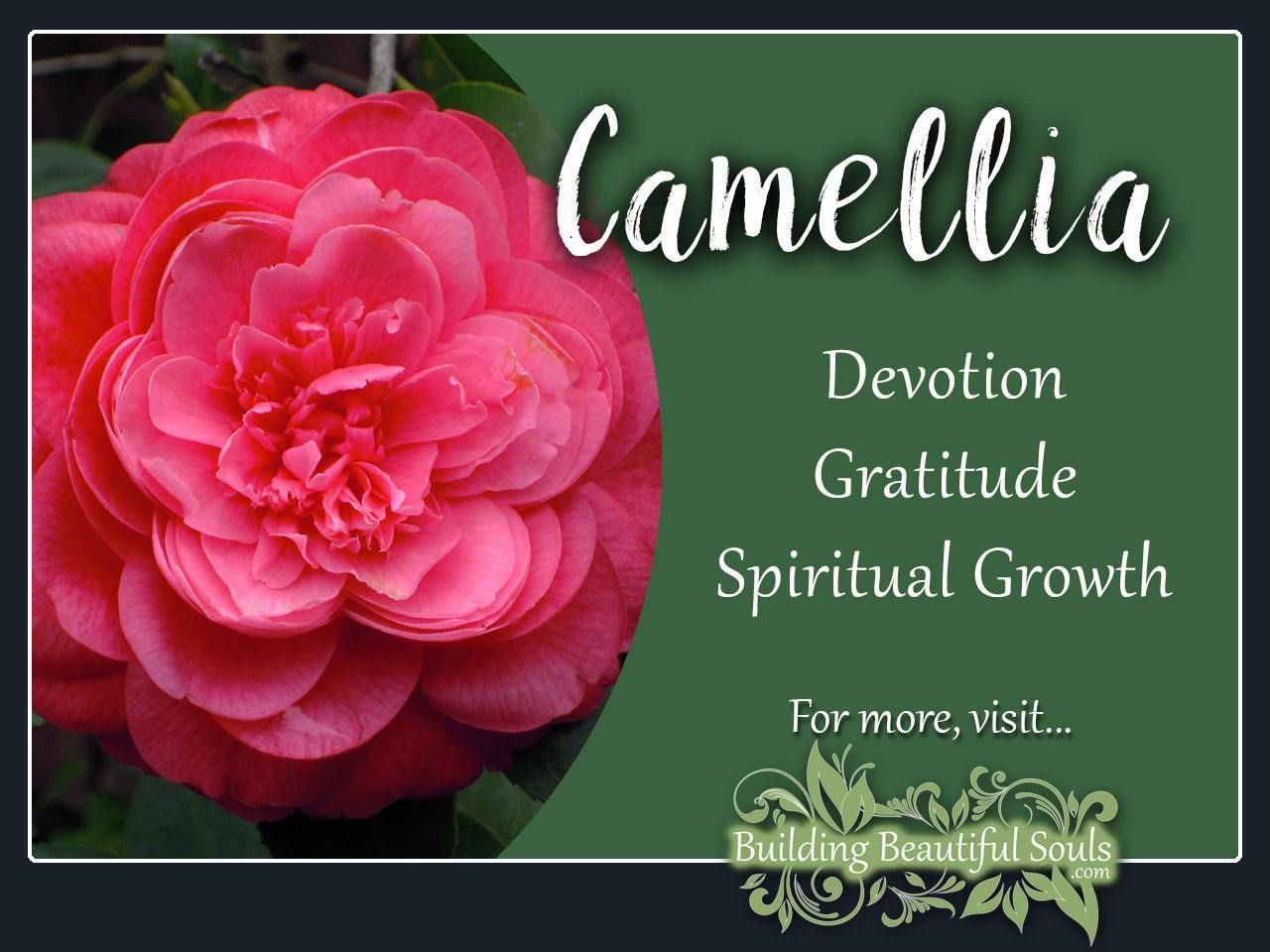 Camellia Meaning & Symbolism | Spiritual meaning and Color meanings
