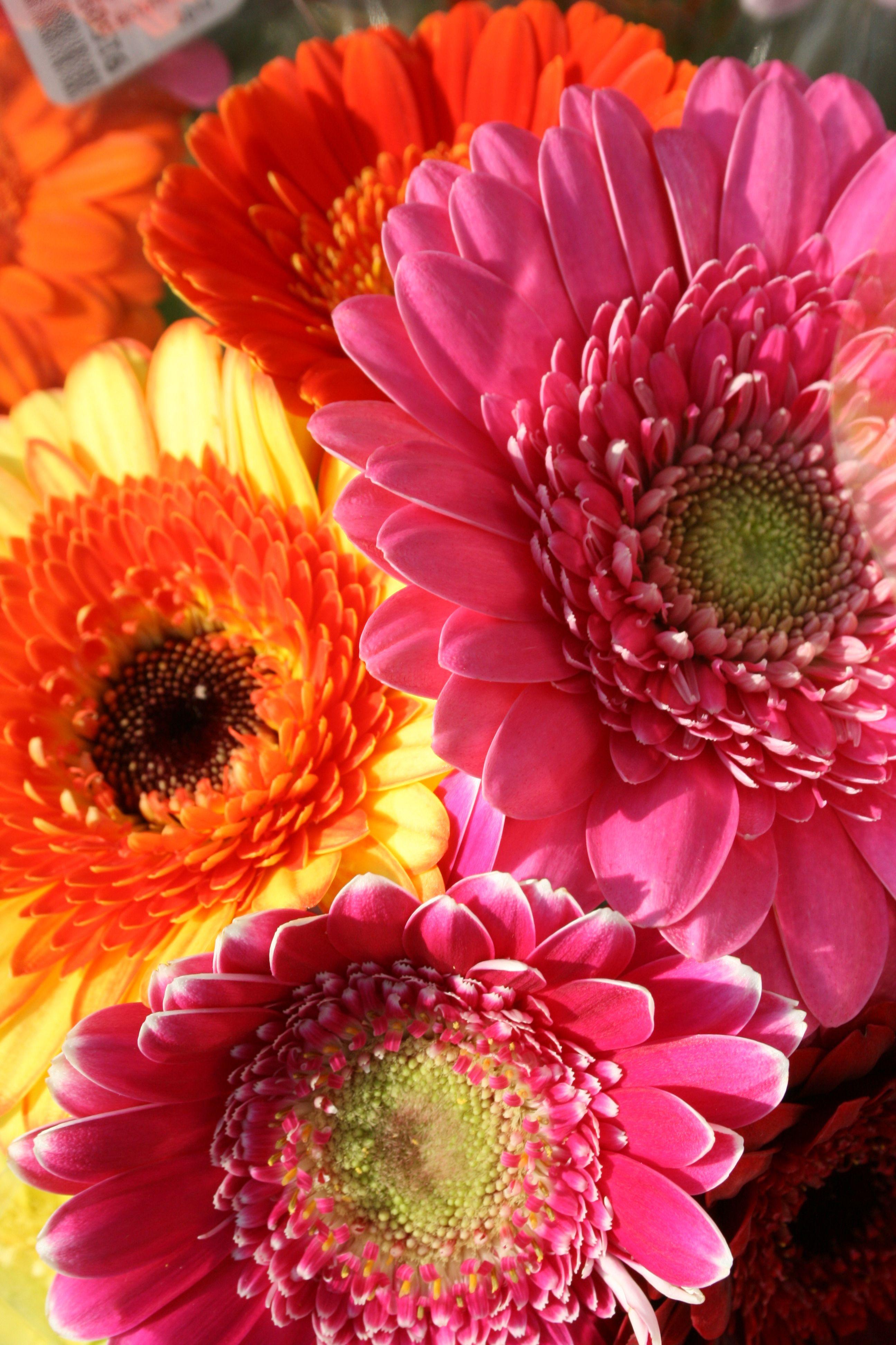 Gerbera Dasies Flores Cores