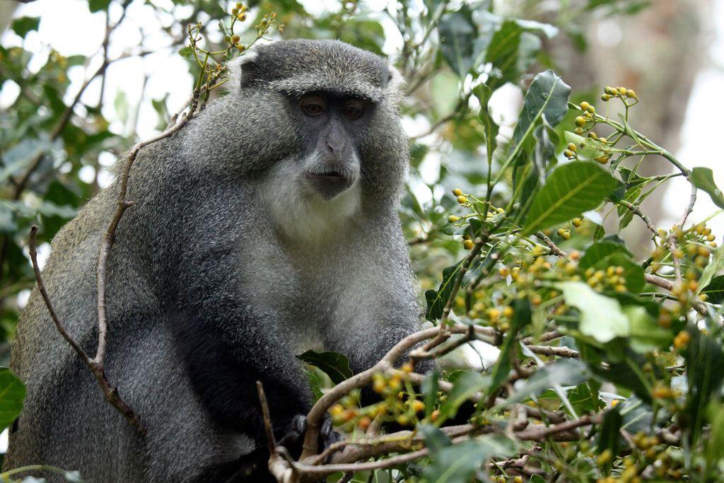 Samango monkeys Endangered animals, African animals