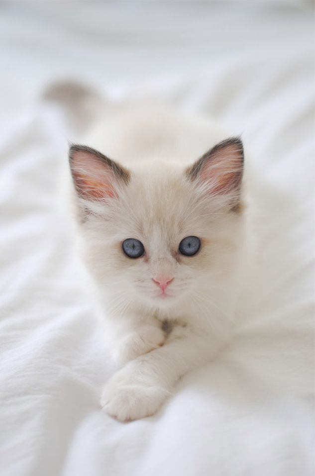 Ragdoll Kittens For Sale Near Me Cheap soon Dwarf Kittens