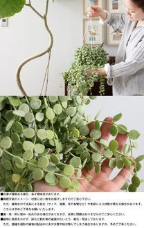 Dischidia nummularia potted plastic hanging · Product Name · Product on