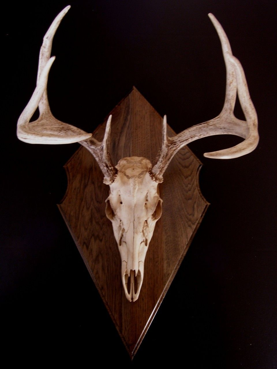 Antler Mount Kit Classic Euro Deer in 2020 Antler mount