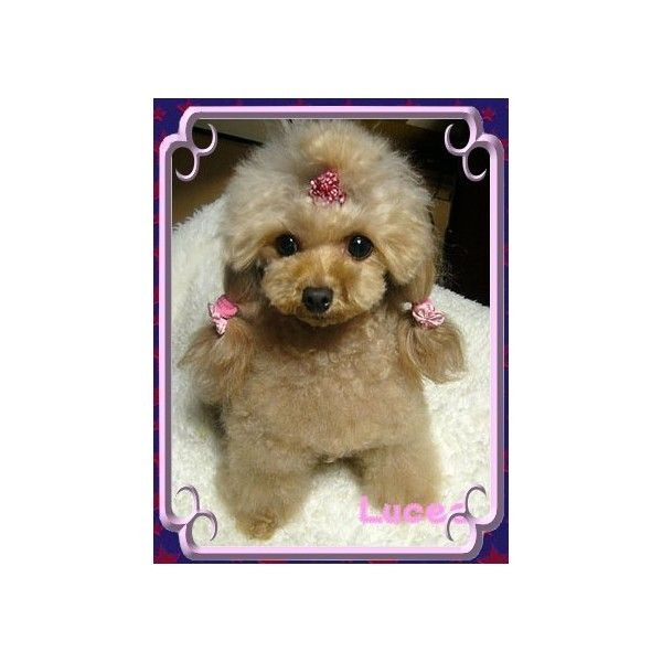 Toy Tiny Toy Teacup Poodles At Hoffman S Toys Found On