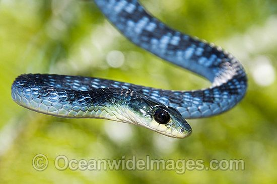 Tree Snake Photos Images Amp Pictures Snake Photos Blue Tree