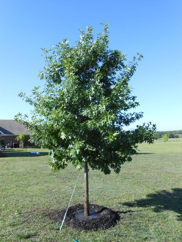 Shumard Red Oak Tree Dallas Texas Treeland Nursery Red Oak Tree Red Oak Leaf Shade Trees