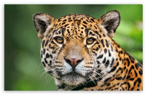 Animals Jaguars Wallpapers Hd Desktop And Mobile: Jaguar Face HD Desktop Wallpaper : Fullscreen
