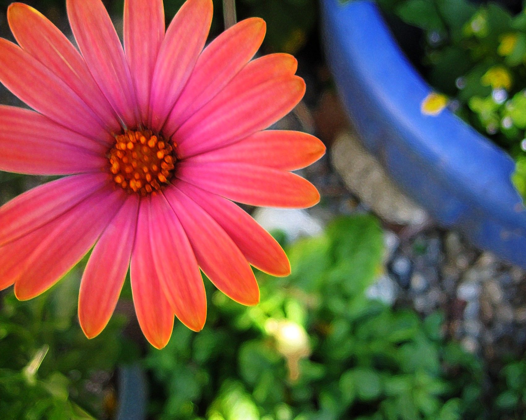 Love, love, love African daisies. Pots of color all summer long.