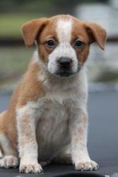 Wrangler Is An Adoptable Australian Shepherd Dog In Orlando Fl Wrangler Is A Beautiful 8wk Old Pupp Australian Shepherd Dogs Shepherd Dog Australian Shepherd