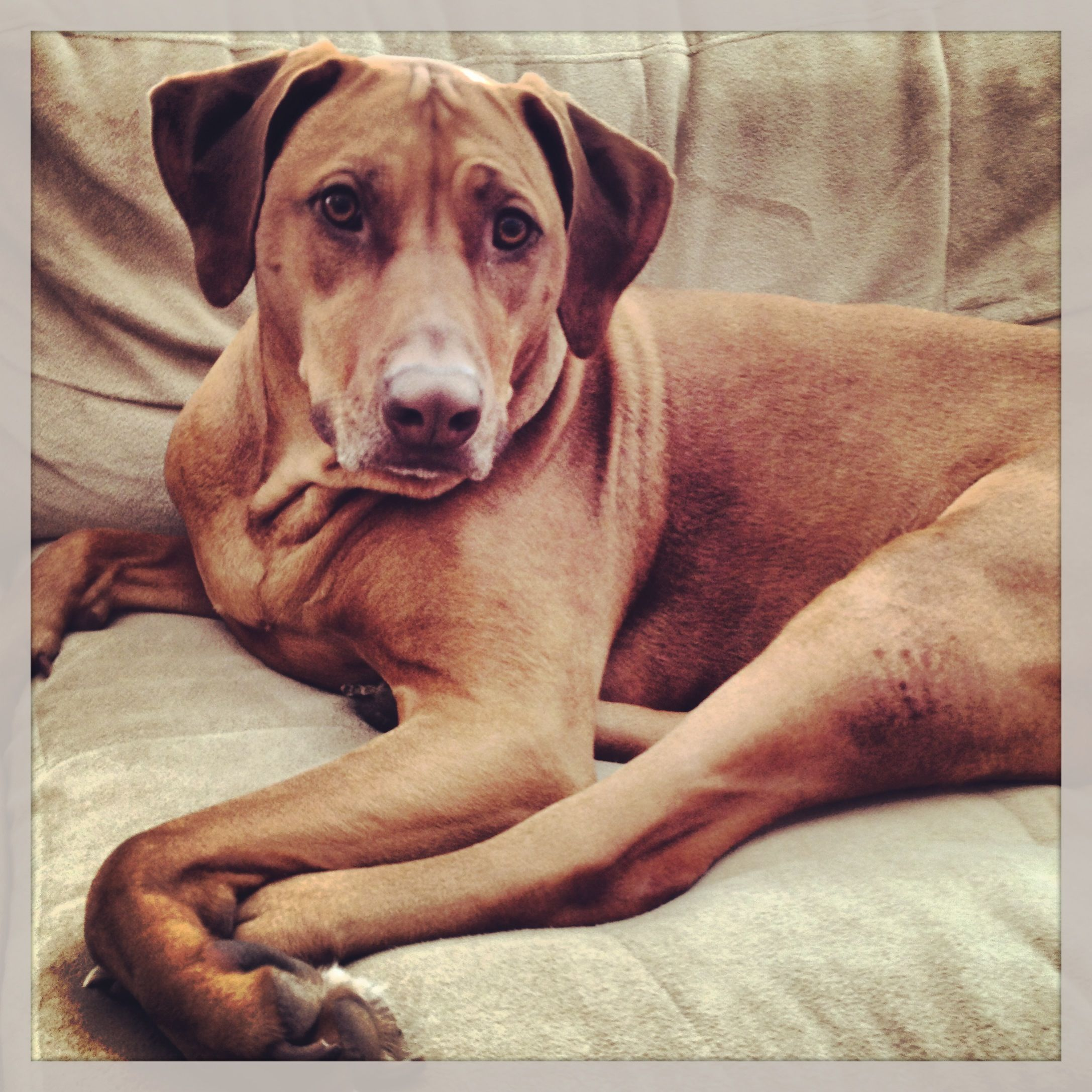 Naughtiest Girl You Will Ever Find Lion Dog Beautiful Dogs Rhodesian Ridgeback