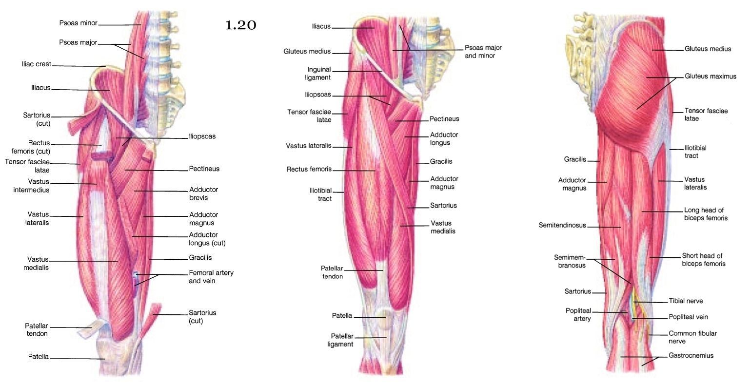 pics inner and outer thigh muscles - HD 1540×790