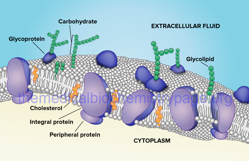 structure of the lipid bilayer of a typical plasma
