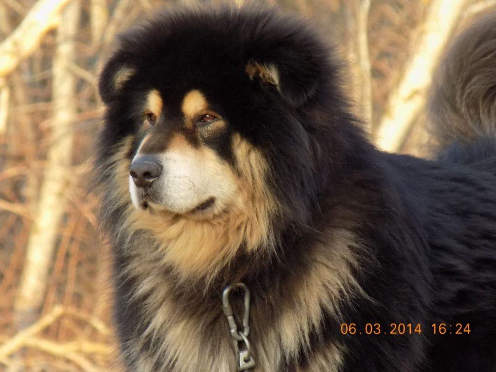 Perfect Example Of A Husky Mastiff Mix Mastiff Mix Mastiffs