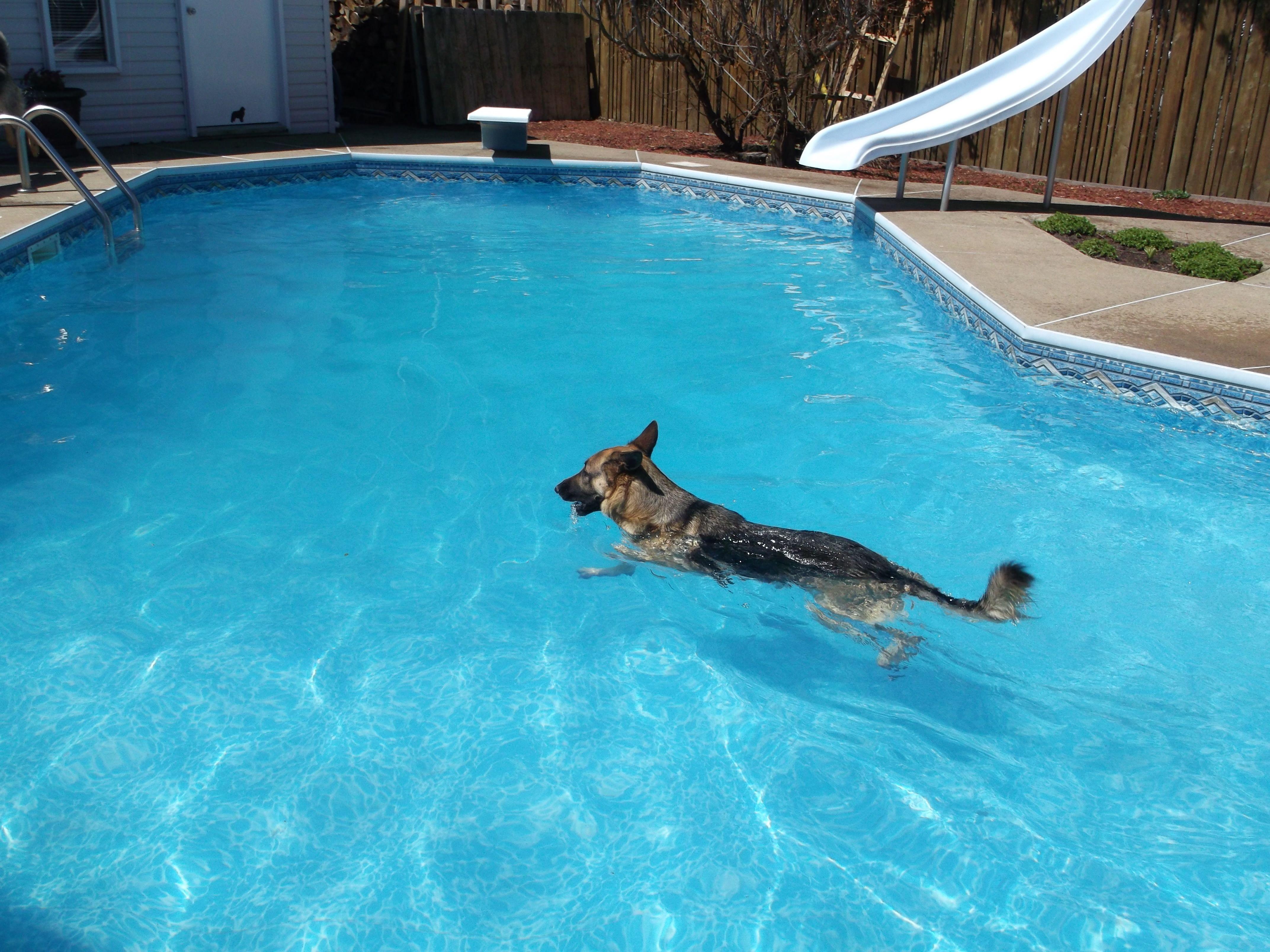 A German Shepherd Dog Is Swimming In A Pool German Shepherd Dogs German Shepherd Training German Shepherd Puppies