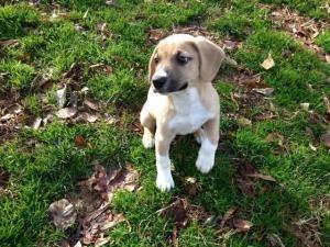 Adopt Baxter on Petfinder Lap dogs, Boxer dogs, Pet adoption